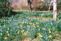 Daffodils in the Waterhouse Plantation