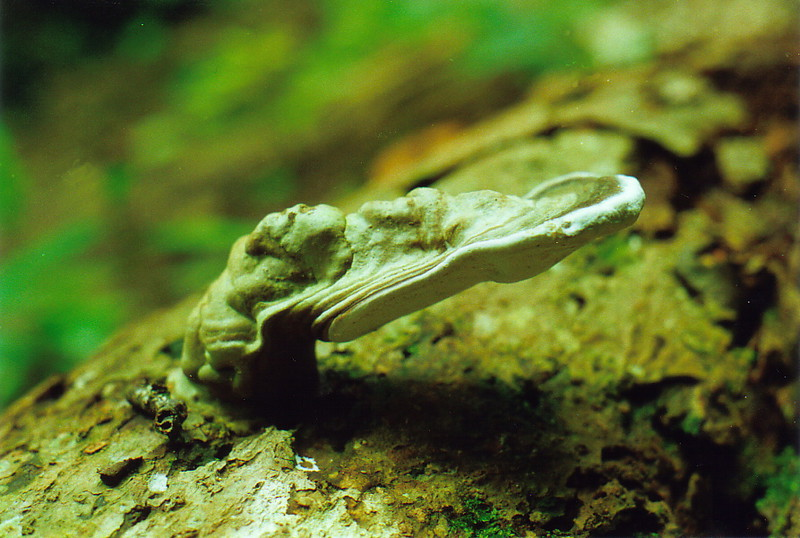 A rainforest fungus